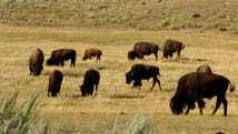 In this Aug. 3, 2016 photo, a herd of bison grazes in the Lamar Valley of Yellowstone National Park. Bison can appear docile to park visitors but have been known to gore tourists who get too close for photographs. Record visitor numbers at the nation's first national park have transformed its annual summer rush into a sometimes dangerous frenzy, with selfie-taking tourists routinely breaking park rules and getting too close to Yellowstone's storied elk herds, grizzly bears, wolves and bison.  (AP Photo/Matthew Brown)