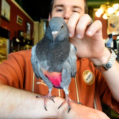 Frankie the pigeon enjoys being rubbed on the back
