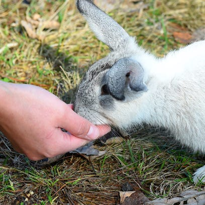A rabbit eats from the hand of a visitor at Shenandoah