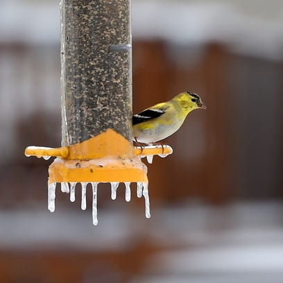 A male goldfinch eats at a bird feeder, which has icicles