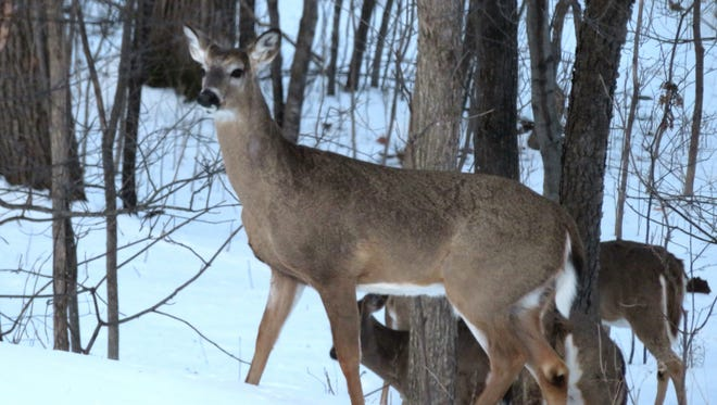 This large buck is part of a bachelor group that occasionally passes through our woods.