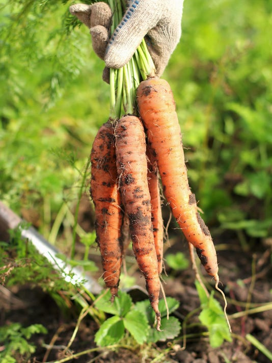 Bunch of fresh organic carrots with dirt in hands