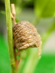 Praying mantis egg