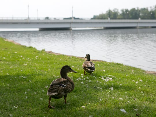 Two ducks waddle towards the Highway 66 bridge at Pfiffner