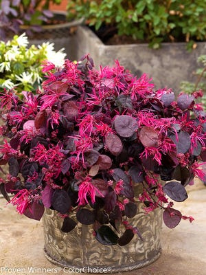 Jazz Hands Bold is a new look with larger leaves and flowers reaching 4 to 6 feet in height with a spread of 6 feet.