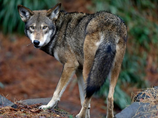 In this Jan. 13, 2015 file photo, a male red wolf enjoys a feeding in it's habitat at the Museum of Life and Science in Durham, N.C.