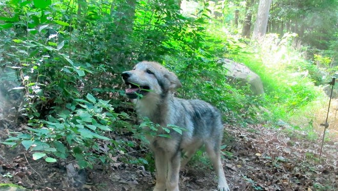 The female pup, Nova, enjoyed a romp around the WNC Nature Center enclosure Thursday morning.