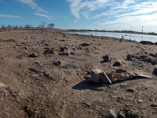Times Record News photo Dried ground and dead fish became symbols of the four-year drought that plagued North Texas and decimated reservoirs until 2015 brought record rains