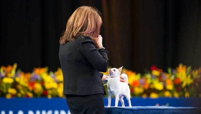 """Sonnito is examined by a judge during the National Dog Show presented by Purina. The Stewartstown dog is one of the seven who made it to the final """"Best in Show"""" round. See if he took top honors when the show airs at noon on Thanksgiving Day."""