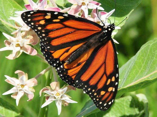 "Monarchs aren't the most efficient pollinators but they are iconic ambassadors and the habitat that benefits them benefits all pollinators. Monarchs arriving in Wisconsin in May are the offspring of a ""super generation"" that migrates to central Mexico and winters on mountaintops where the cool climate slows their metabolism. They leave in March for warmer climates like Texas, where they mate and lay eggs on milkweed plants. Those eggs hatch into caterpillars, which gorge on milkweed before forming a chrysalis and transforming into adult butterflies. These are the butterflies which fly on to Wisconsin and other eastern states to breed."