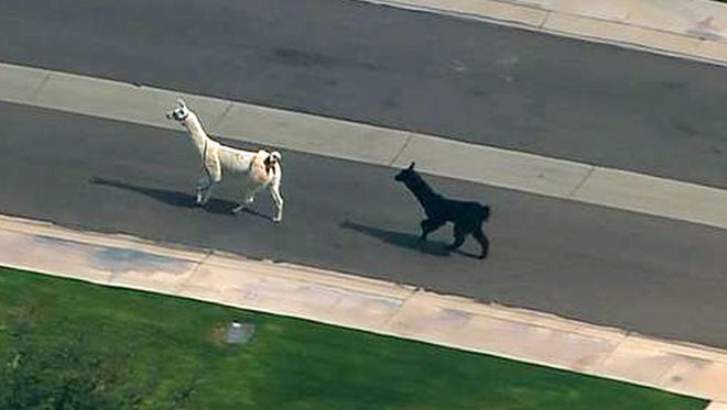 Two escaped llamas dominated the news and social media as they ran amok through a quiet retirement community in Sun City in February. Word of their escape spread as they dodged cars and evaded posse members from the Maricopa County Sheriff's Office. A few onlookers eventually ended their rebellion an hour or so later, but the llamas' social-media stardom had only begun.