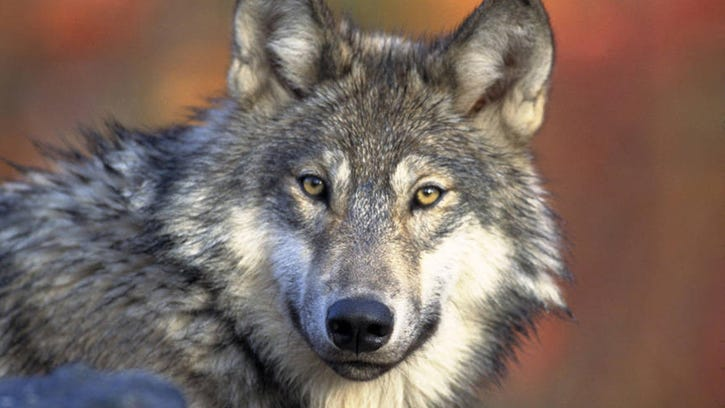 Congress wants to put wolves back in crosshairs