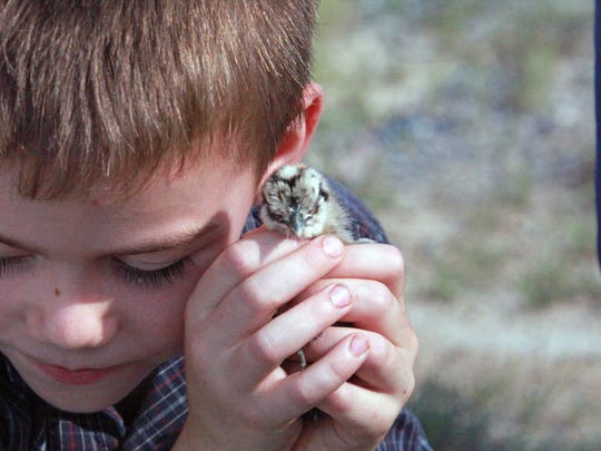 """Roy Berry of Spring Hill cuddles a baby chick, or """"peeper,"""""""