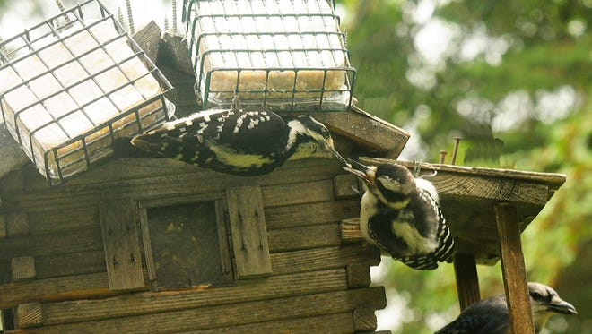 An adult downy woodpecker, left, shoves suet into the beak of its offspring while a bluejay eats sunflower seeds behind them.