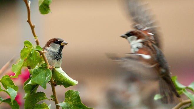 A sparrow watches another sparrow as it swoops onto the same branch.