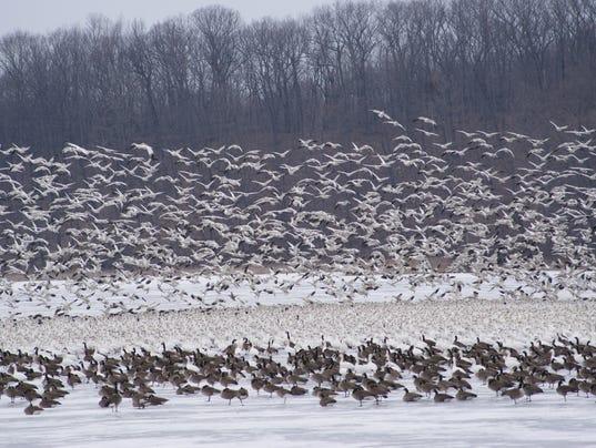 geese DSC00261