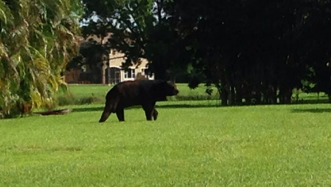 A bear has roamed Bella Terra neighborhood in Estero for two weeks. He was spotted this morning on Torre Del Lago Street.
