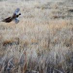 A pheasant flies over a field on Saturday, March 29, 2014, near Frederick, S.D. (Joe Ahlquist / Argus Leader)