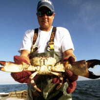 Commercial fisherman Shane Dooley holds up a large stone crab he caught in one of his traps off Sanibel Island. Both claws were broken off and the crab was thrown back. The claws will grow back over the next year.