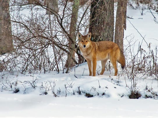 The Michigan DNR says it is not uncommon to see coyote
