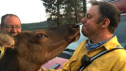 This Saturday, July 2, 2016 photo provided by Kittitas County Fire & Rescue shows an affectionate elkgreeting Kittitas County Fire & Rescue firefighter Jonas Smith over the holiday weekend as they worked to tame a wildfire in Kittias County, Wash. The orphaned elk, dubbed Buttons by the locals, is a fixture in Kittitas County, where she took up residence with some cows and goats on a hillside.