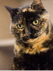Torri is a 14-year-old female domestic short hair who