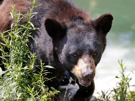 AP MIDTERM ELECTIONS-BEAR HUNT A FILE USA ME