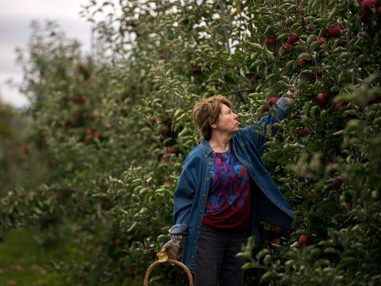 Vestal resident Cheryl Kerr picks apples Thursday at