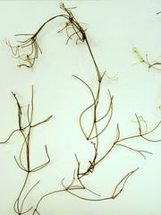 Starry stonewort, an aquatic invasive, can form dense mats.
