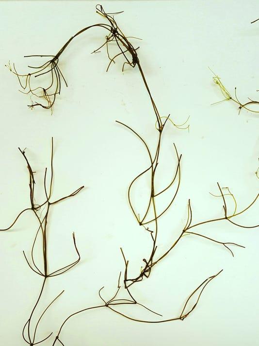 stonewort