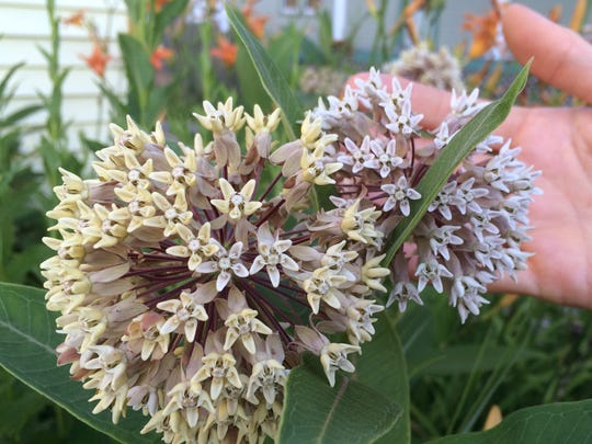 A milkweed blooms in Burlington's South End in mid-July. The plant is critical to monarch butterflies.