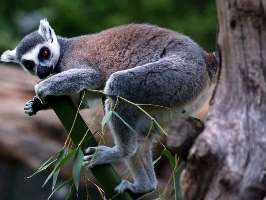 A ring-tailed lemur stands in its enclosure at the