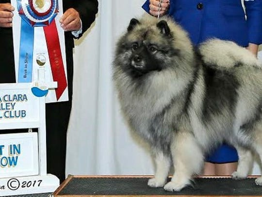 """Rev. Ruthann Seibert's Keeshond, Melody, won numerous awards last year, holding the title of the No. 1 Keeshond in the country in 2017. She was awarded """"Select Bitch"""" at the Westminster Kennel Club dog show last year."""