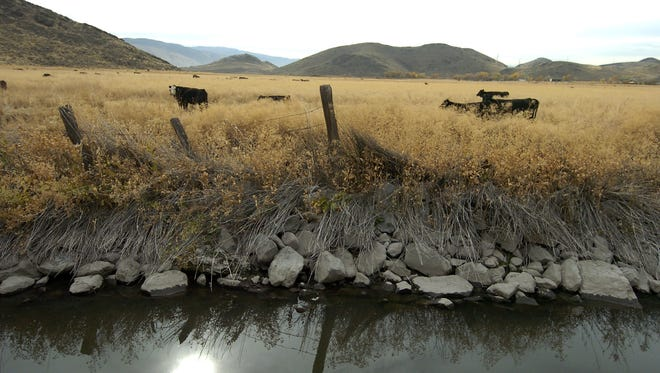 Cows wander the Butler Ranch across the canal from the Heron's Landing development on Nov. 1, 2006.