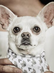 Gazpacho is the 5-year-old Chihuahua owned by AndyHollyday