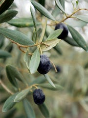 Olives grow at DeLio Olive Company in Visalia.