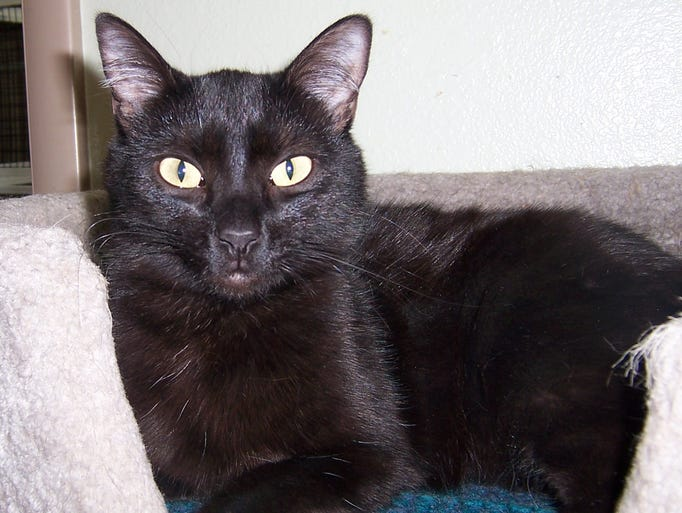Baby is a very beautiful and friendly black cat. She is about 4 years old. Her owner had to give her up because of allergies. She is very sweet and friendly with our other cats. Baby is looking for a forever home. Please come in and fill out an application if you would like to adopt this beautiful girl! Where to meet this pet:  PAWS Adoption Center 1125 W. 1130 North in St. George. Call:  435-688-9748.