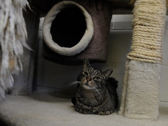 """Cats at the Secaucus Animal Shelter have lots of options for giving their claws a workout. """"Catie"""" hangs out next to one approved scratching post at the shelter on Tuesday, January 24, 2017."""