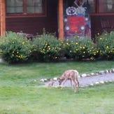 Deer, bunny frolic around Estes Park YMCA