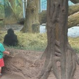 2-year-old plays peek-a-boo with baby gorilla