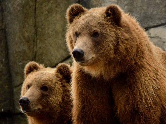 Alexandra Linz earned first place in the Marshfield Convention & Visitors Bureau photo contest with her photo of Munsey and Boda, the Kodiak bears at Wildwood Zoo.