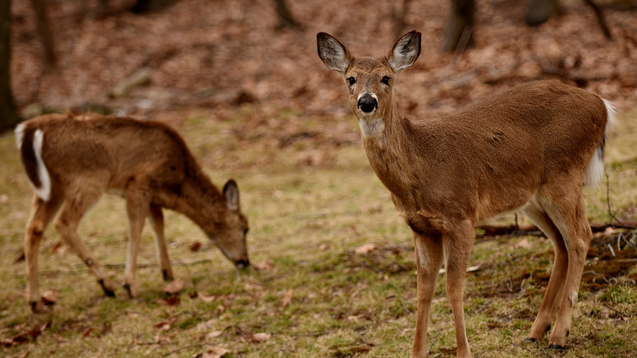 A rash of deer-related collisions were reported by state police in Gettysburg this past weekend. Evening Sun photographer Dan Rainville also hit a deer and captured it on his dash-cam. (It's not too graphic.)