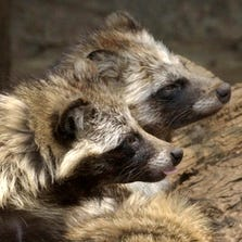 Raccoon dogs, seen here in Tokyo's Ueno Zoo, are often used in clothing and can be mislabeled as faux fur.