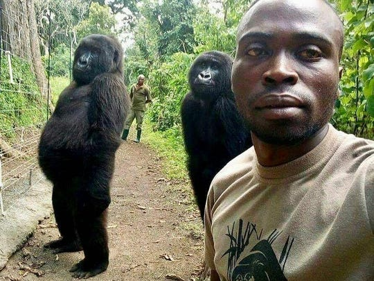 Congo Gorilla Selfie