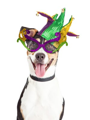 Getty Images/iStockphoto Funny photo of a happy and smiling dog wearing Mardi Gras glasses and jester hat