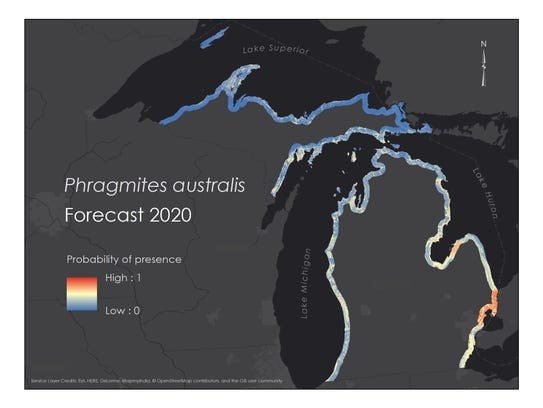 NASA modeling shows invasive phragmites will remain