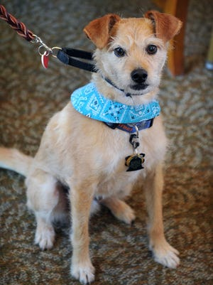 """Teaching your dog a command like """"come here"""" takes a bit of practice. This a file photo is of pet therapy dog Tebow, owned by Dyann Kramer."""
