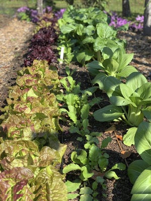 Frost is no problem for cold-hardy vegetables, such as lettuce and Chinese cabbage, which thrive in cold weather.