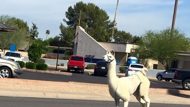 Llamas on the loose in Sun City.