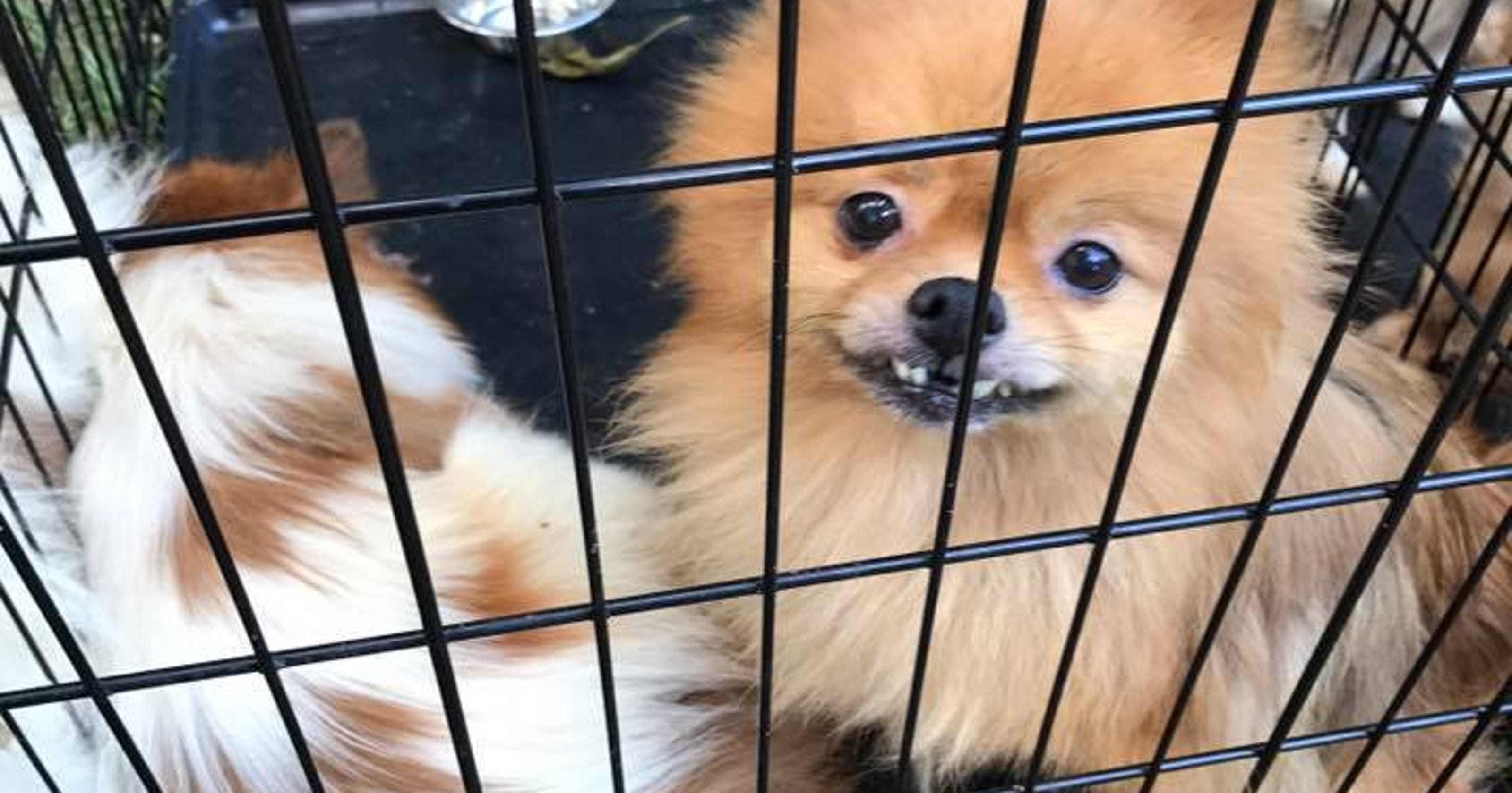 27 Pomeranians, a parrot and a 6-year-old boy rescued from